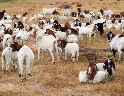 Google 'contrata' a 200 cabras para cortar el césped de su sede